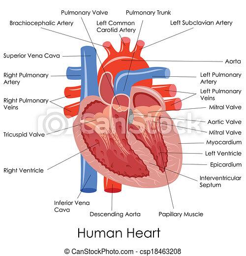 Human heart anatomy. Vector illustration of diagram of human heart ...
