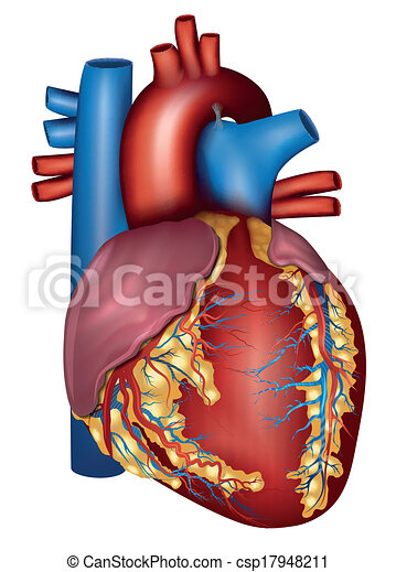 Human heart detailed anatomy, colorful design - csp17948211