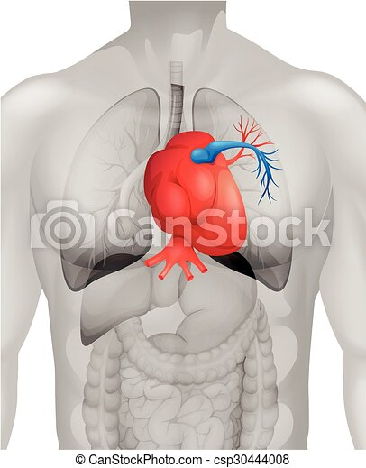 Human Heart Diagram In Detail Illustration Vector Clipart Search