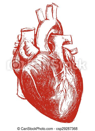 Human Heart Drawing Line Work Vector For Use Clip Art Vector