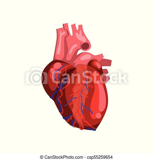 Human heart, internal organ anatomy vector illustration on a white ...