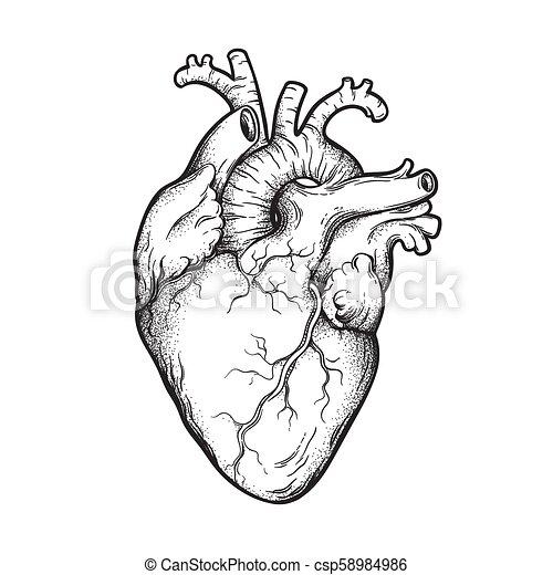 Human Heart Line Art And Dotwork Human Heart Anatomically Correct