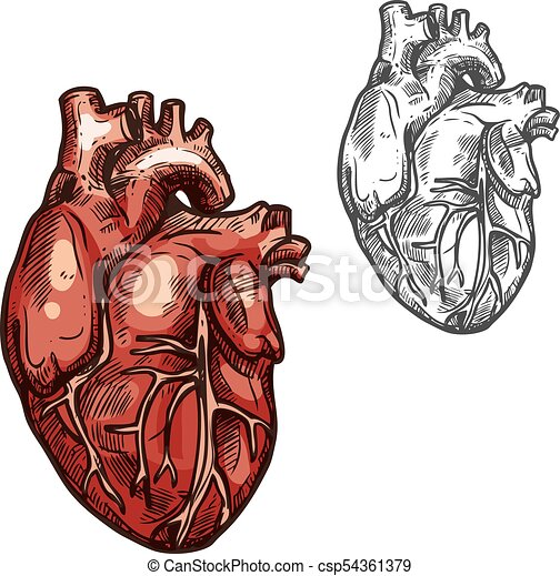 Human Heart Organ Vector Sketch Icon Heart Sketch Icons Of Human
