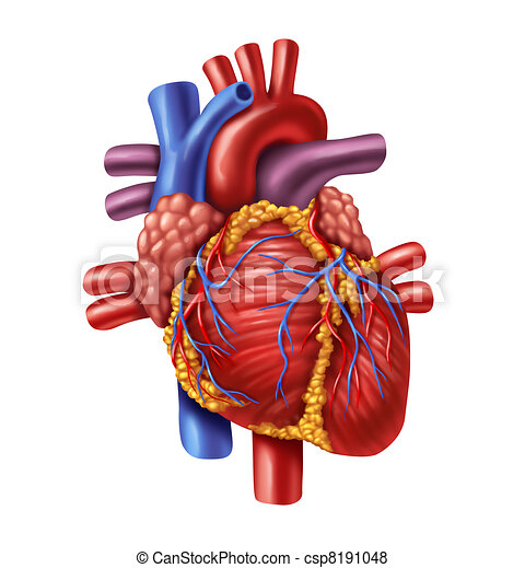 Human Heart Human Heart Anatomy From A Healthy Body Isolated On