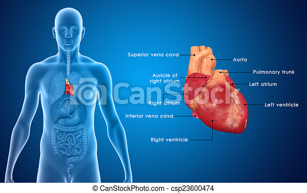 Human Heart The Human Heart Is A Vital Organ That Functions As A
