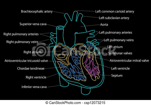 Human heart structure human heart structure csp12073215 ccuart Images