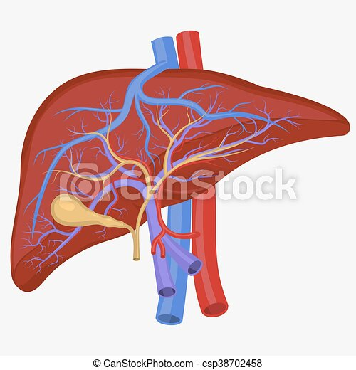 Human internal liver human liver internal section digestive system human internal liver csp38702458 ccuart Gallery