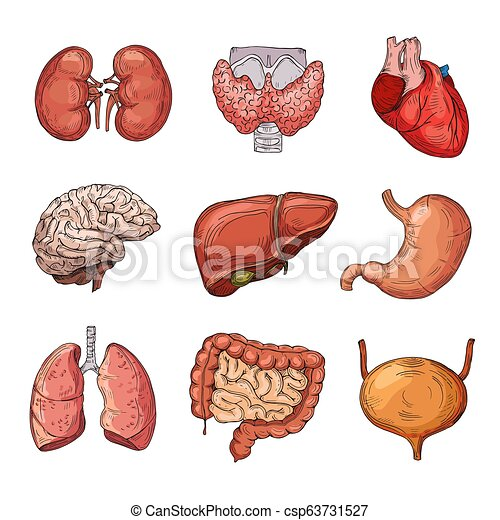 Human internal organs  Cartoon brain and heart, liver and kidneys  Vector  body parts isolated