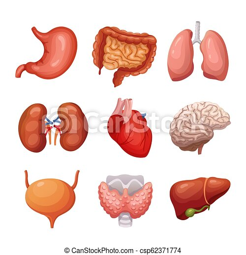 Human internal organs  Stomach and lungs, kidneys and heart, brain and  liver  Body parts vector anatomy set