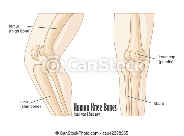 Vector illustration of human knee bones front and side view anatomy.