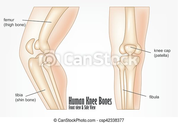 Vector Illustration Of Human Knee Bones Front And Side View Anatomy