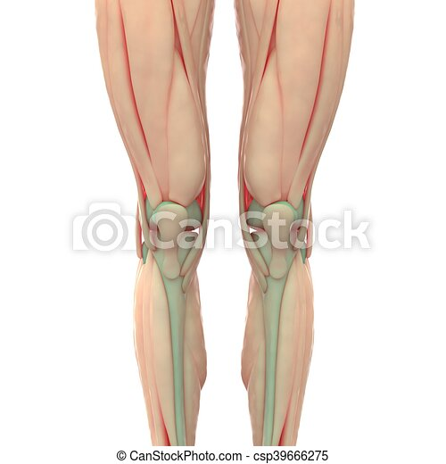 3d illustration of human leg joints muscles anatomy.