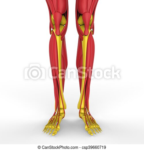 3d Illustration Of Human Legs With Muscles Anatomy Clipart Search