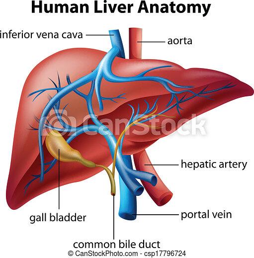 Human Liver Anatomy - csp17796724
