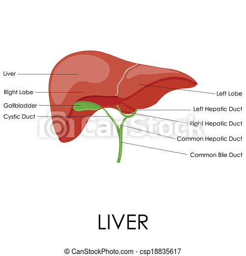 Human Liver Anatomy Vector Illustration Of Diagram Of Human Liver