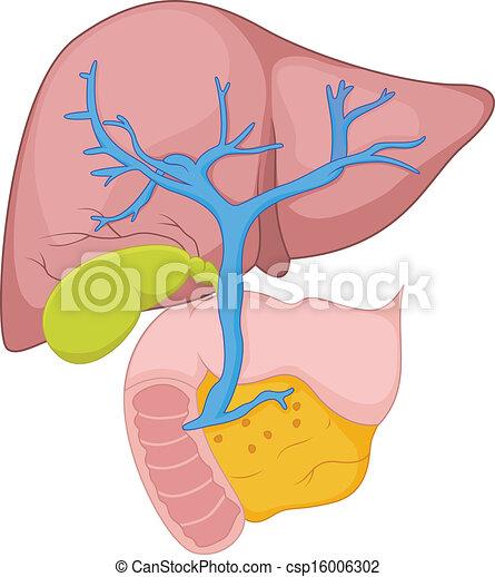 Vector illustration of human liver anatomy human liver anatomy csp16006302 ccuart Choice Image