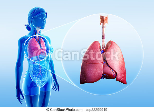 Illustration Of Human Lungs Anatomy Clipart Search Illustration