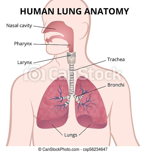 Human Lungs Trachea And Nasopharynx Image Of The Anatomy Of The