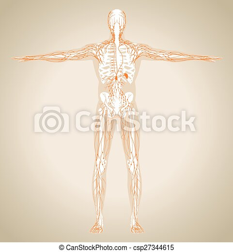 Human (male) lymphatic system - csp27344615