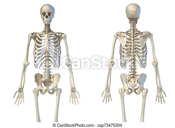 diagram of male skeleton human male skeleton 3 4 figure front and back views human  human male skeleton 3 4 figure front