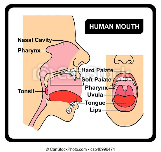 Human Mouth Anatomy Diagram Including All Parts For Medical Science