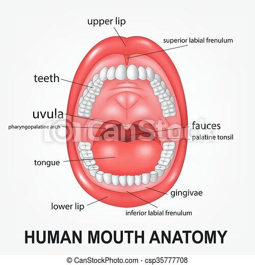 Palatine tonsil Illustrations and Clip Art. 25 Palatine tonsil ...