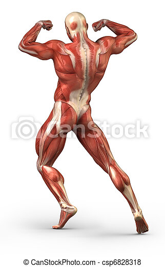 Human Muscular Back System Anatomy In Body Builder Pose Pictures