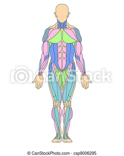 Human muscular system . Anatomy illustration of human muscular ...