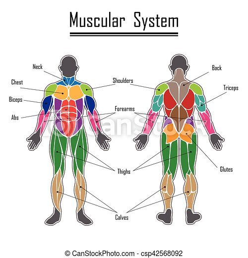 Human muscular system. Human body muscles different colors and text.