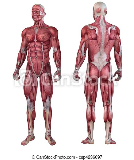 Human muscular system . 3d rendered anatomy illustration of a male body.