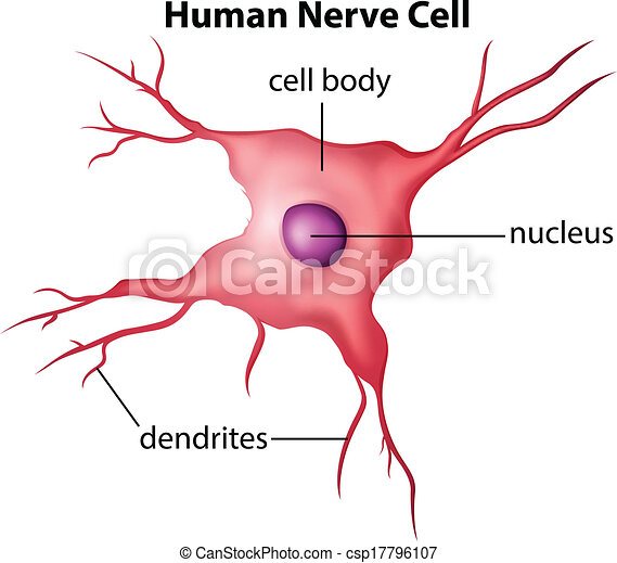 Human nerve cell. Illustration of the human nerve cell on a white ...