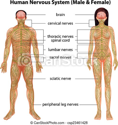 Human Nervous System The Male And Female Nervous Systems On A White