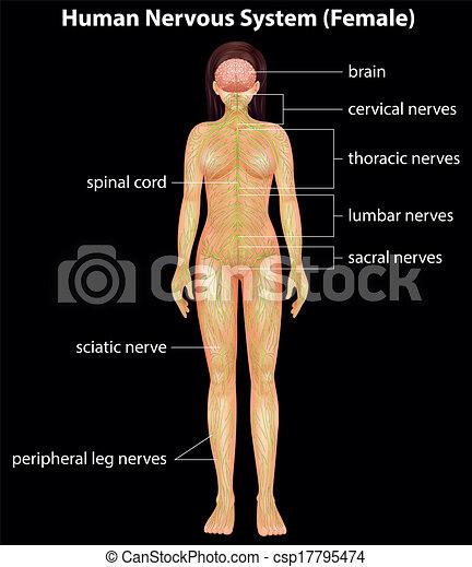 Human nervous system - csp17795474