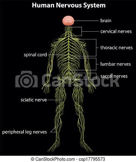 Human nervous system - csp17795573