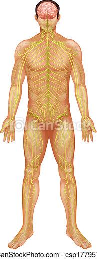 Human nervous system - csp17795777