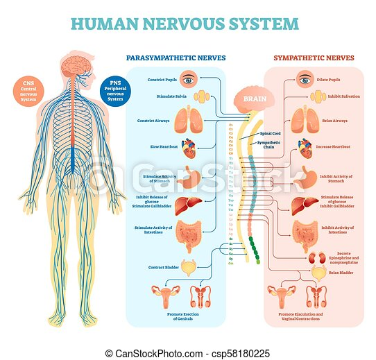 Human nervous system medical vector illustration diagram with parasympathetic and sympathetic nerves and all connected inner organs. - csp58180225