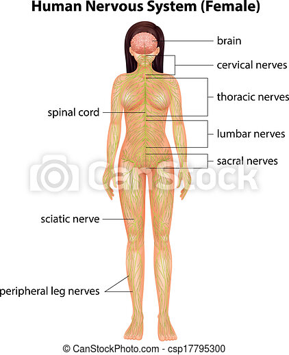Human nervous system. Illustration of the human nervous system.