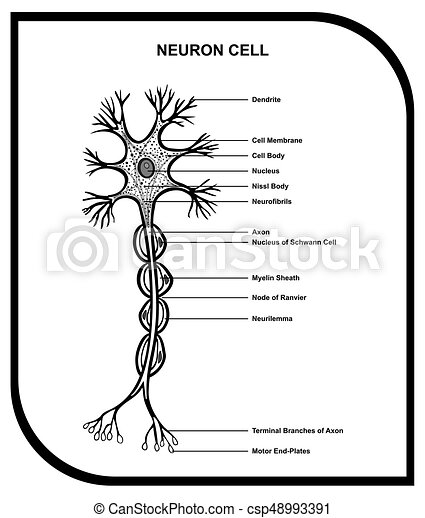 Human neuron cell anatomy diagram including all parts dendrite human neuron cell anatomy diagram csp48993391 ccuart Image collections
