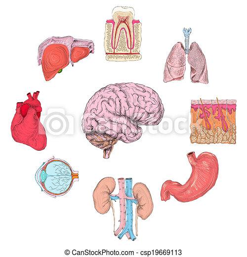 Human Organs Set Of Lungs Heart Brain Kidney Hand Drawn Vector