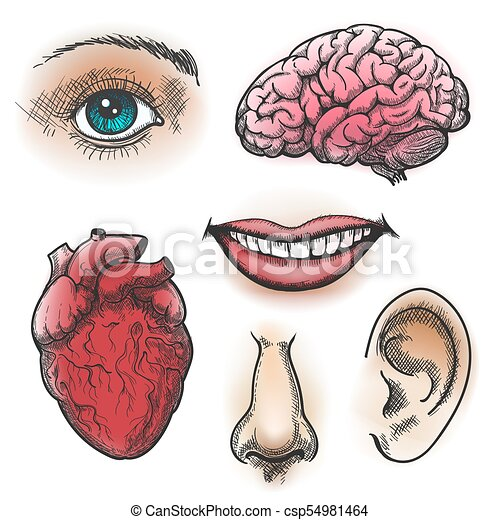 Human organs sketch. face and internal organs in vintage style like ...