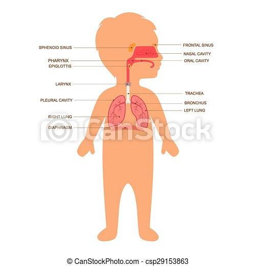 Human respiratory system anatomy, child vector medical nose ...