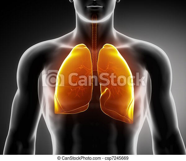 Human respiratory system with lungs and bronchial tree - csp7245669