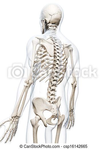 Human skeletal back. 3d rendered illustration of the human skeleton.