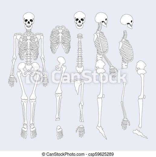 Human skeletal system parts vector illustration. Human skeletal ...