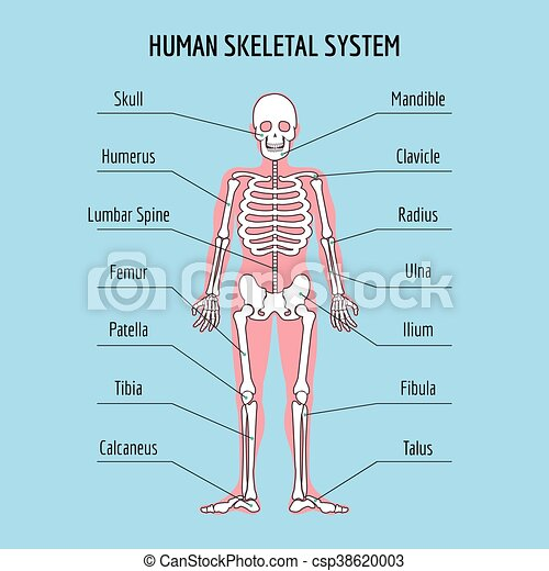 Human Skeletal System Vector Human Bone Anatomy Illustration