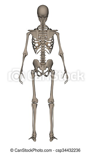 human skeleton 3d render rearview of human skeleton isolated in