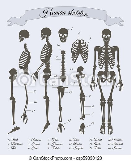 Human skeleton and parts, vector illustration. Human skeleton and ...