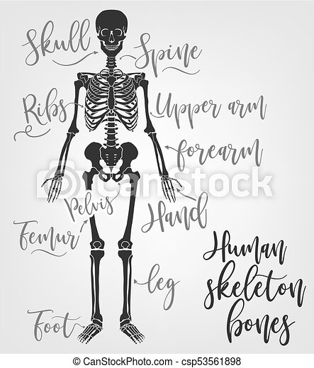 Human skeleton bones. vector illustration in flat style with ...