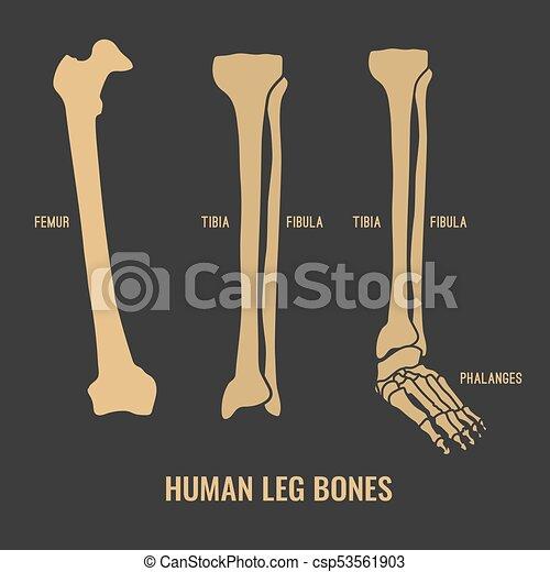 Human skeleton bones. Human leg bones icons. chest image in a flat ...