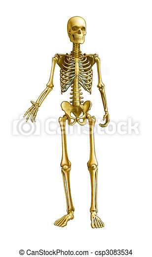 Human Skeleton - csp3083534